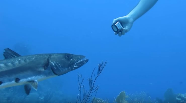 barracuda-intercept-lionfish-from-diver1 (2)