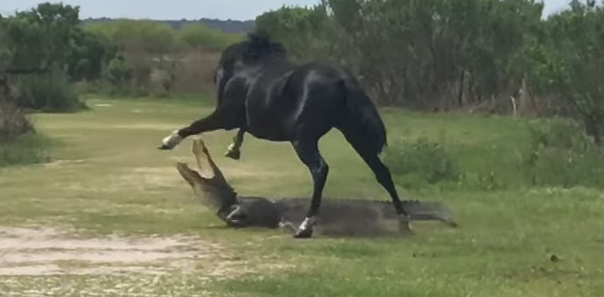 alligator-vs-horse (1)