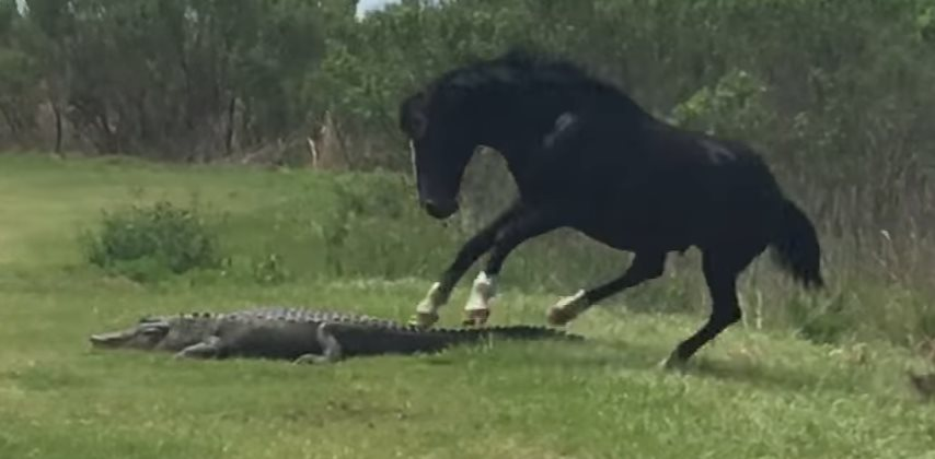 alligator-vs-horse (2)