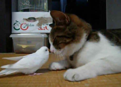 Parakeet and cat02