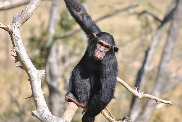 chimpanzee_sign_language_s