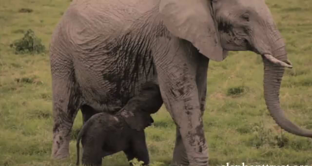 Five Days Old Baby Elephant8
