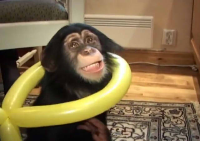 Cute and funny baby of chimpanzee17
