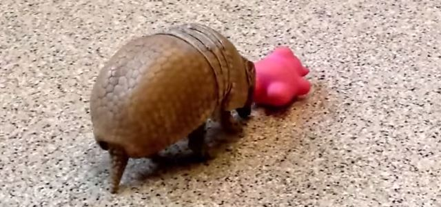 toy_pig_play_armadillo_baby