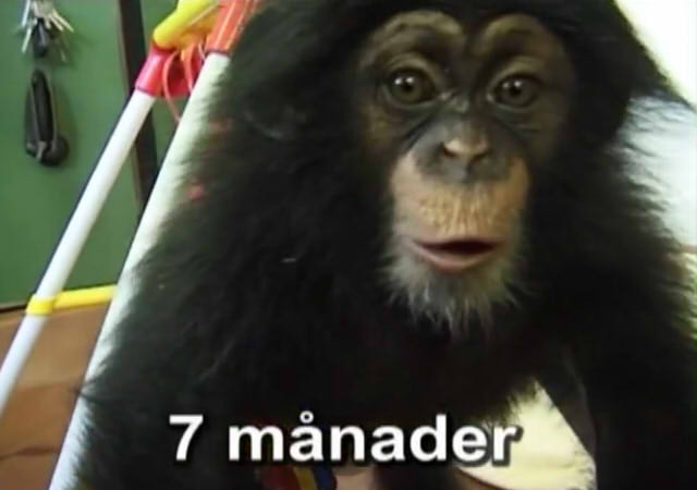 Cute and funny baby of chimpanzee13