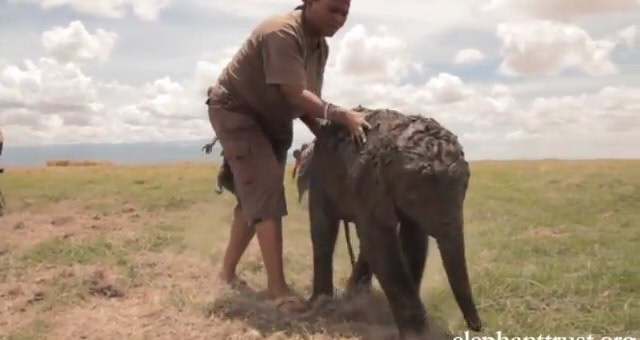 Five Days Old Baby Elephant6