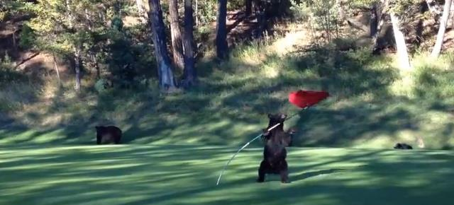 mischievous_bear_cub_plays_flag_golf (11)