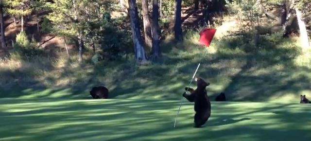 mischievous_bear_cub_plays_flag_golf (4)