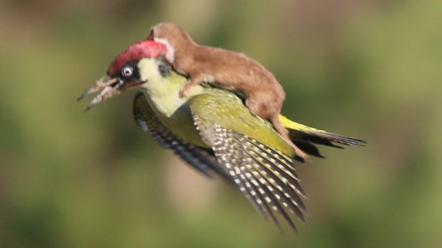 ride-flying-weasel-woodpecker-back (1)-s