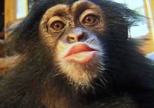 Cute and funny baby of chimpanzee18