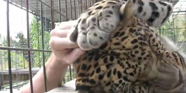 leopard_massage_pleasure