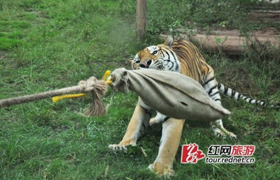 tiger-tug-of-war2