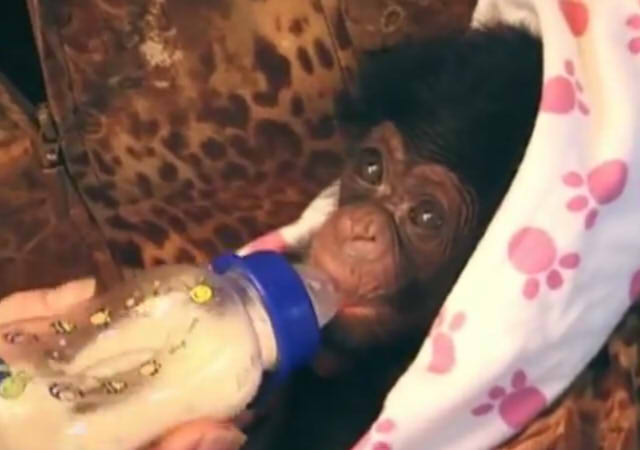 Cute and funny baby of chimpanzee02