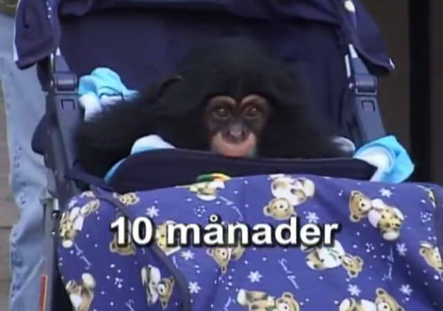 Cute and funny baby of chimpanzee14