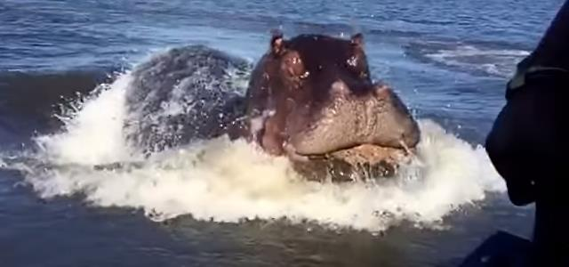 hippopotamus-woah-video-boat-river