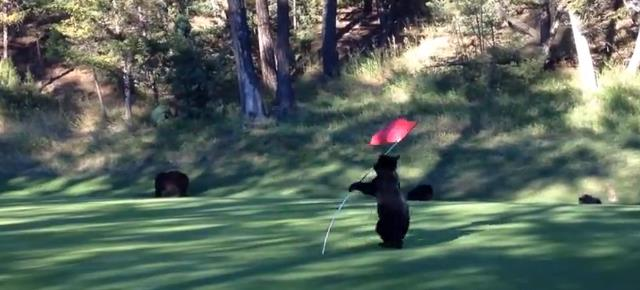 mischievous_bear_cub_plays_flag_golf (10)