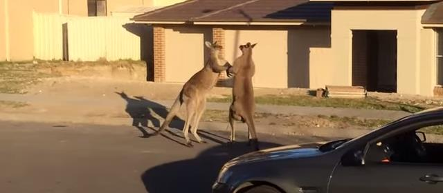 wild_kangaroo_street_fight