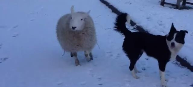 sheep-thinks-its-dog