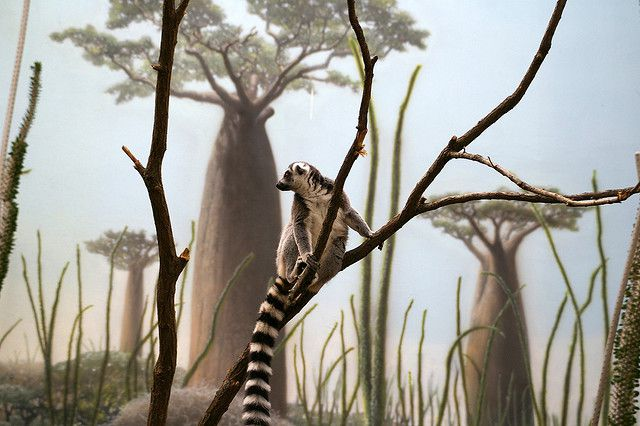 cleverclever_Long_tailed_Lemur_at_the_Bronx_Zoo_s