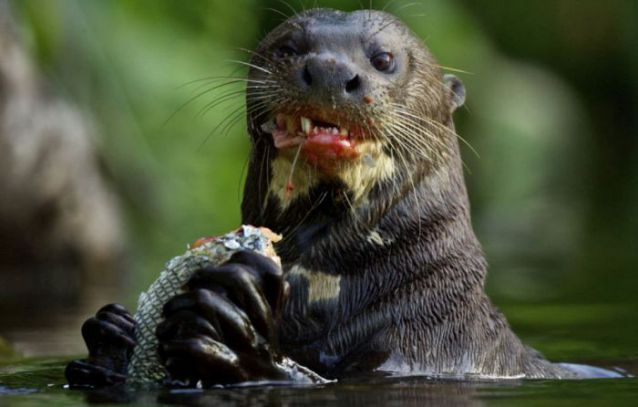 otter-vs-alligator (3)-lll