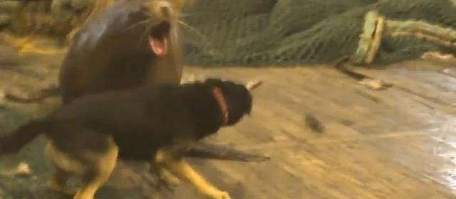 russia_sea_lion_berserk_scary
