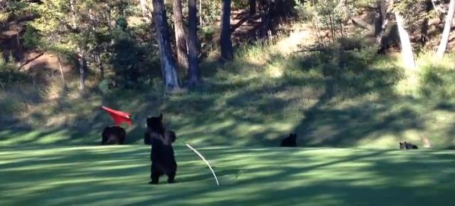 mischievous_bear_cub_plays_flag_golf (13)