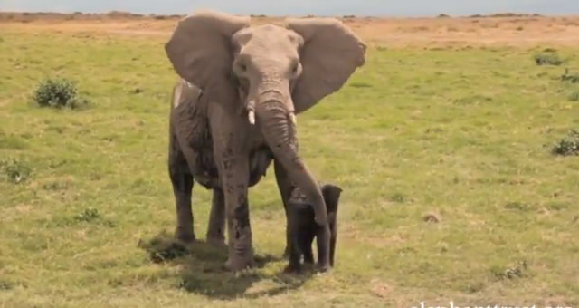Five Days Old Baby Elephant7
