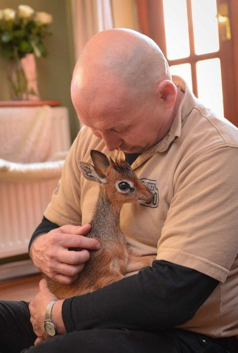 the_dik_dik_is_your_new_favorite_mini_animal_10